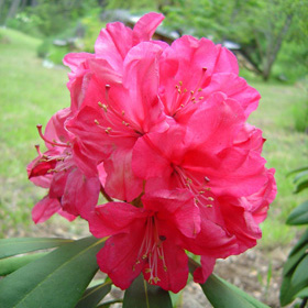 Rhododendro Clara Curry