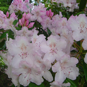 Rhododendro Mrs Pearson
